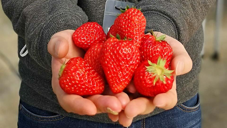 令中國人感動!日本採草莓初體驗和震驚的草莓吃法