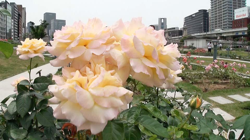 美不勝收~310品種玫瑰的中之島玫瑰園